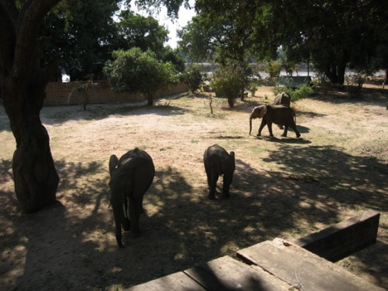More elephants which passed underneath my tent up the tree