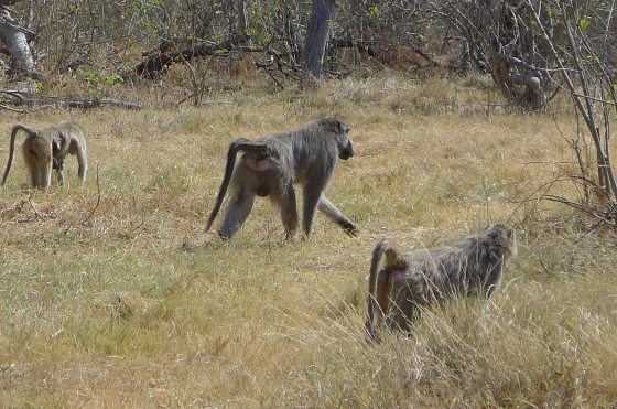 We saw a lot of baboons throughout Africa.