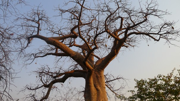 Some of these baobab trees are thousands of years old.