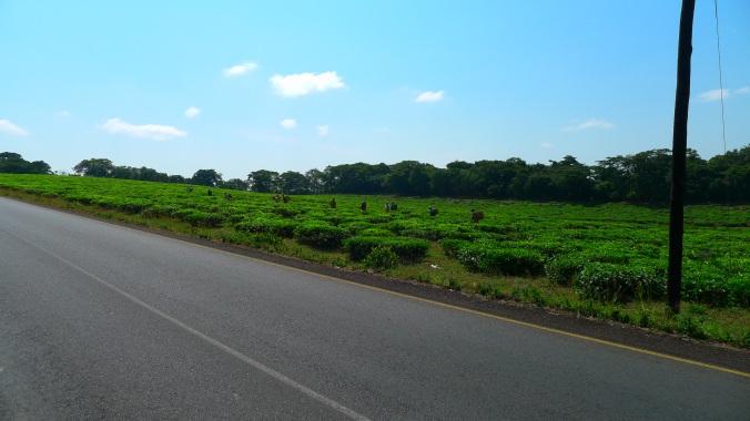 Tanzanian tea plantations