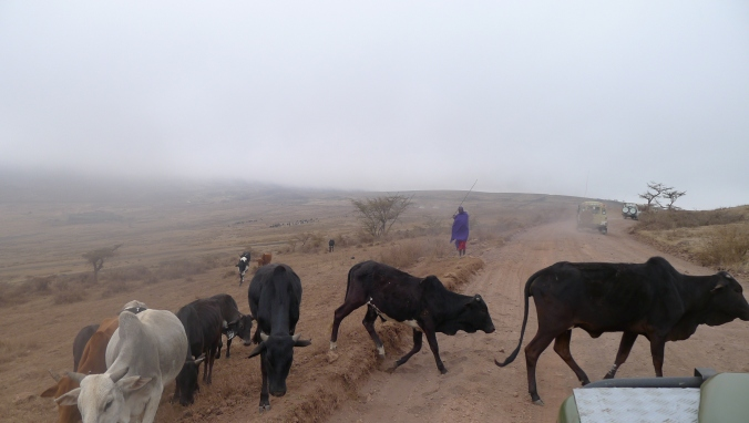 Masaai Cattle crossing the road..
