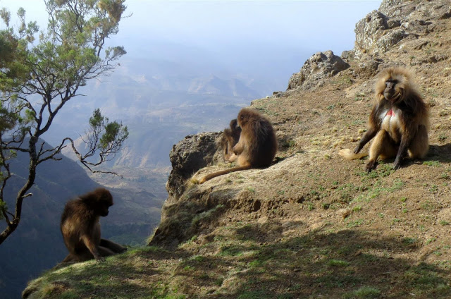 Baboons at Simien Highlands
