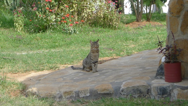 A mix of domestic moggy and African wild cat