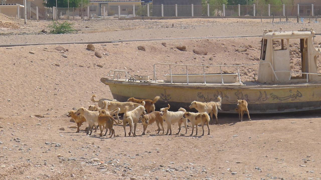 Pack of desert dogs