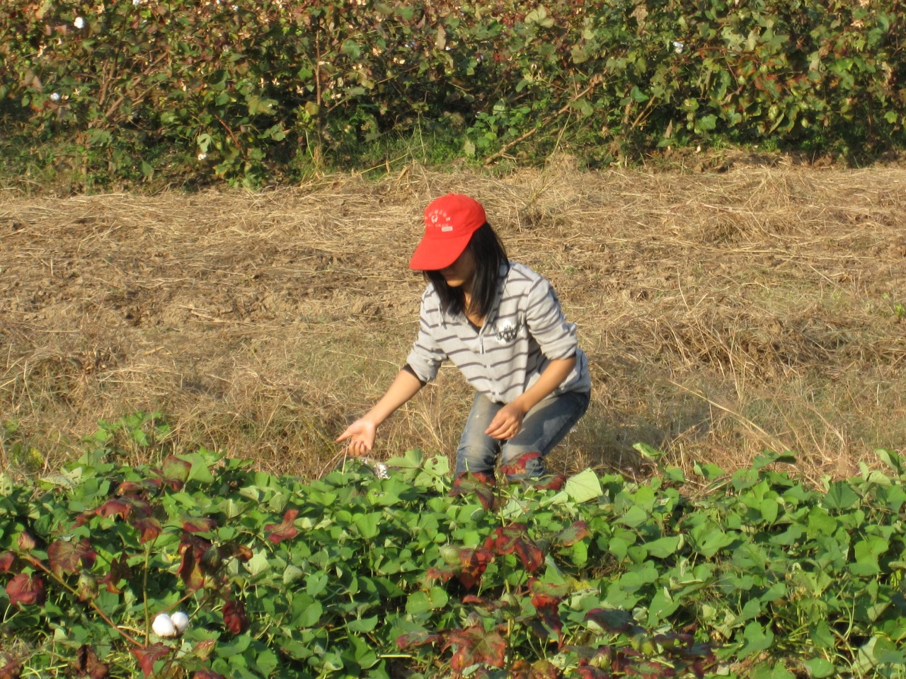A local girl picking cotton
