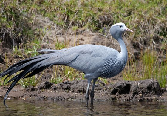 The Blue Crane... National bird of South Africa and although rare, found in the Overberg around Arniston