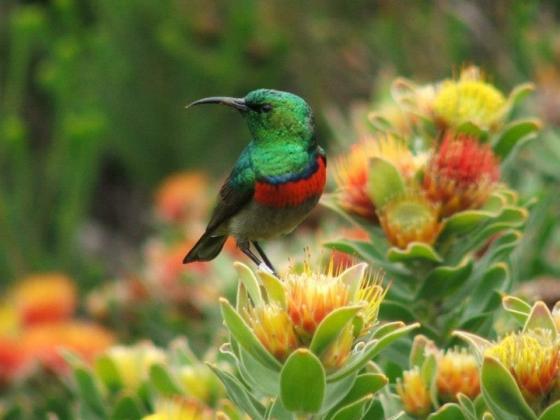 Sunbird in Overberg Fynbos