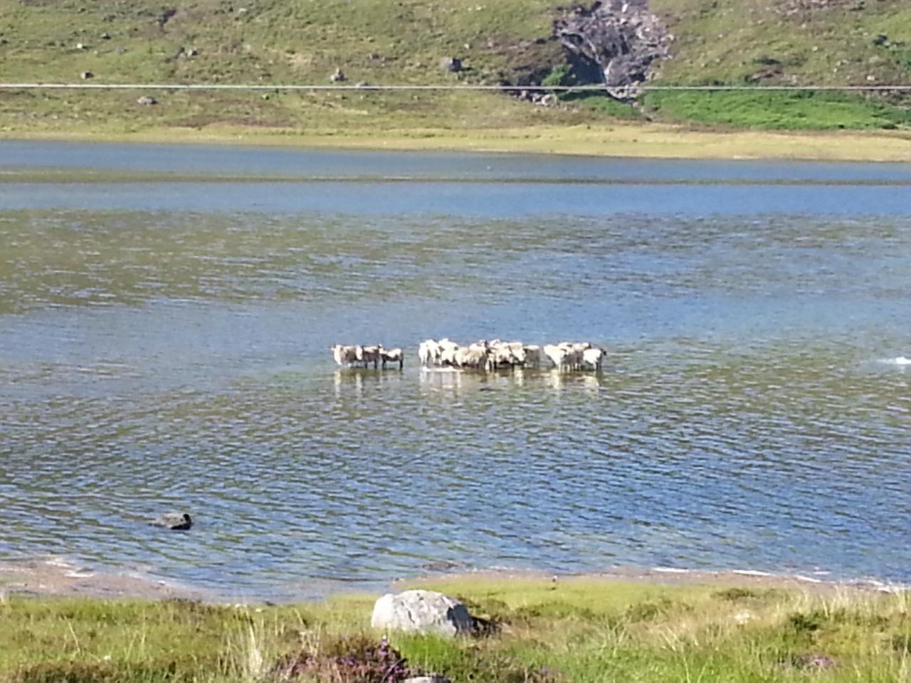 Perhaps the Loch Ness sheep