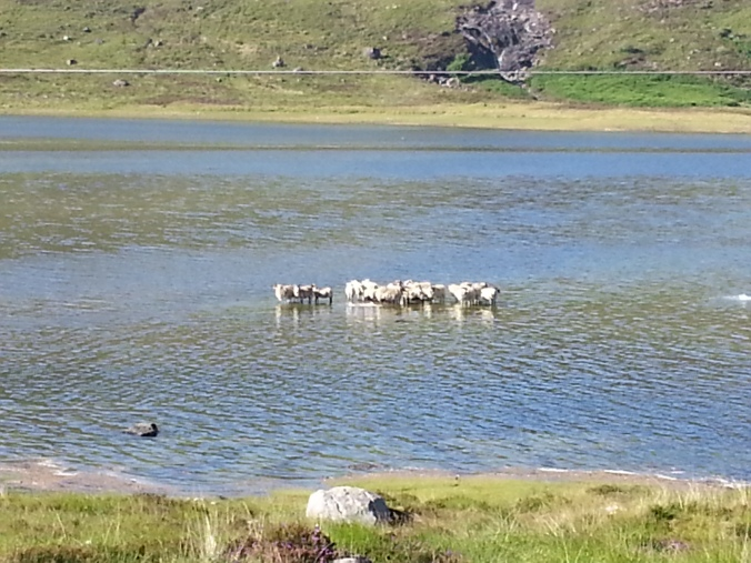 Perhaps the Loch Ness sheep