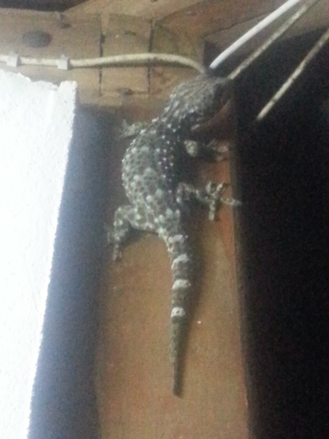 This big chap (about a foot long) was outside our hut making a loud clicking noise.