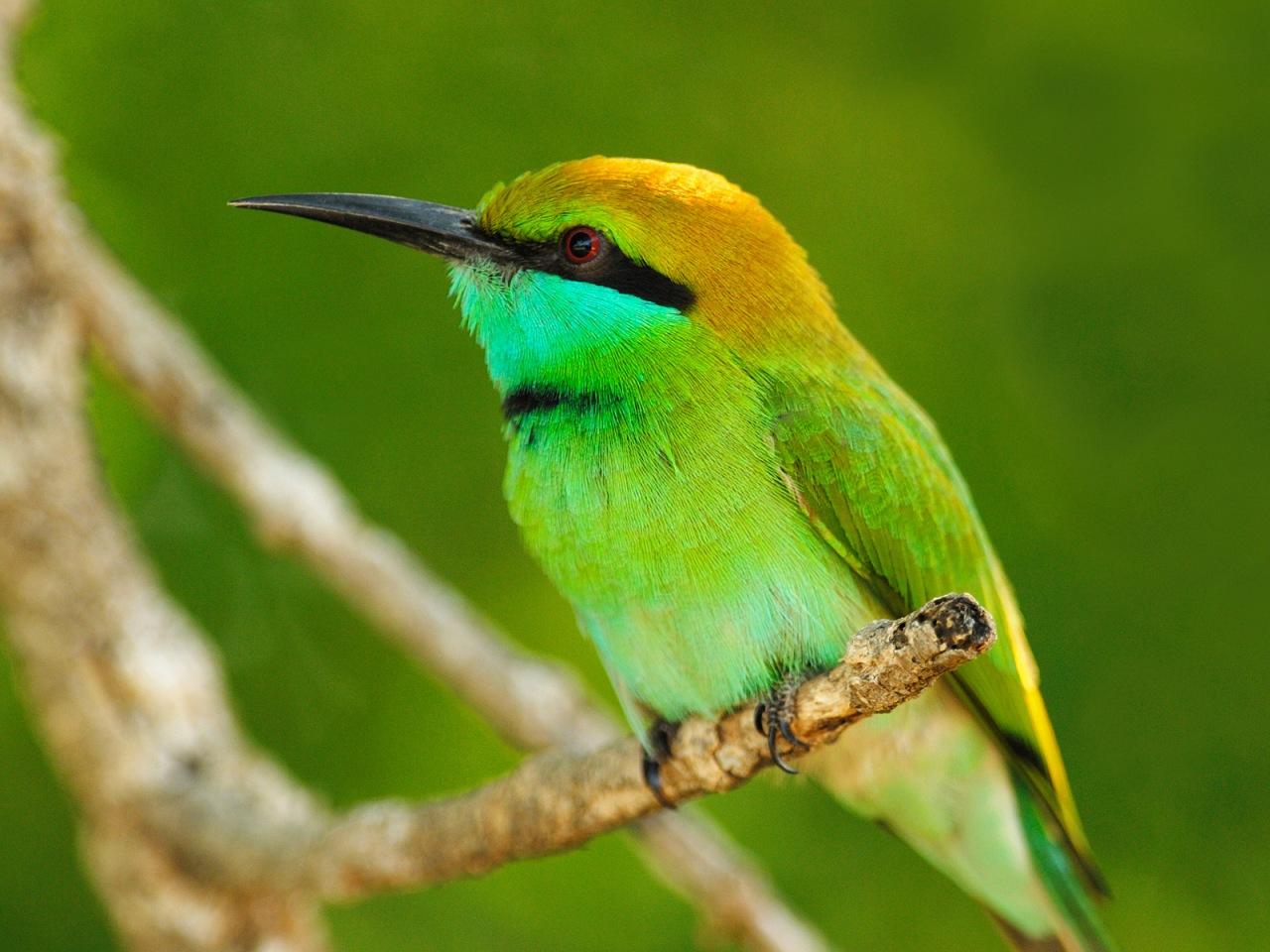 little_green_bee-eater__yala_west_national_park__sri_lanka
