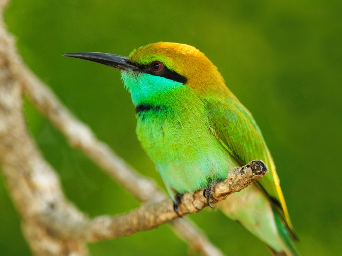 little_green_bee-eater__yala_west_national_park__sri_lanka